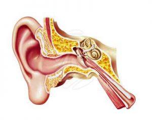 ear-istgahekoodak-300x237 گوش انسان - آموزش های علمی برای کودکان