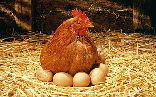 Hen-eggs مرغ و خروس پرندگانی خانگی - آشنایی کودکان با حیوانات