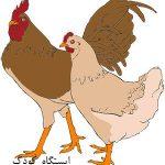 مرغ و خروس کلیپ ارت