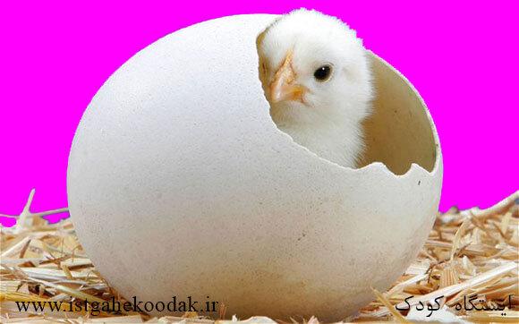 chicken مرغ و خروس پرندگانی خانگی - آشنایی کودکان با حیوانات