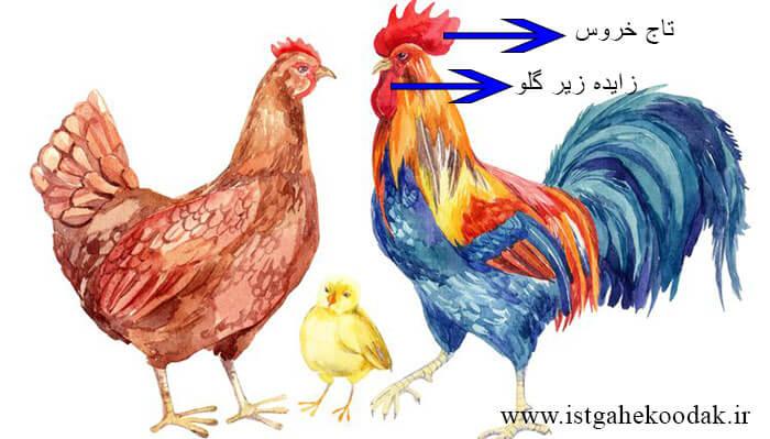hen-chiken مرغ و خروس پرندگانی خانگی - آشنایی کودکان با حیوانات
