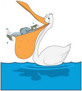 pelican-2-271x300 پلیکان ، بزرگ ترین پرنده ی پروازی جهان