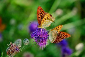 the_butterfly12-300x200 آشنایی با زندگی پروانه ها - وقتی رنگ ها بال در می آورند